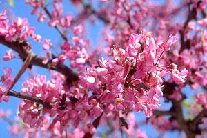 Albero di giuda cercis siliquastrum for Arboles altos para jardin
